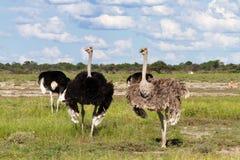 Ostrichs на национальном парке Etosha Стоковые Фото