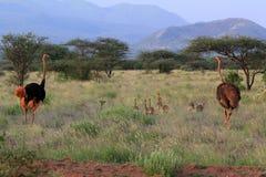 Ostrichs на саванне Национальный парк Tsavo Стоковые Фотографии RF