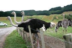 Ostrichs, Новая Зеландия Стоковое Изображение