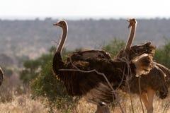 Ostrichs стоя на африканской саванне на предпосылке высокорослой травы Стоковые Фотографии RF