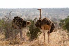 Ostrichs стоя на африканской саванне на предпосылке высокорослой травы Стоковая Фотография RF