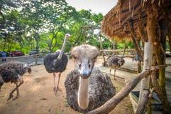 Ostrichs Стоковая Фотография