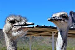 Ostrichs Стоковое Фото