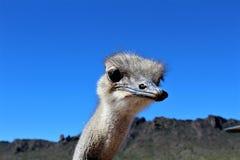 Ostrichs Стоковые Фото