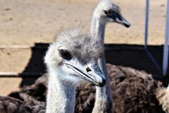 Ostrichs Стоковое Изображение RF