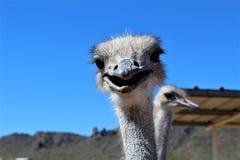 Ostrichs Стоковая Фотография RF