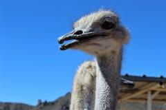 Ostrichs Стоковые Изображения RF
