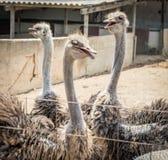 Ostrichs Στοκ φωτογραφία με δικαίωμα ελεύθερης χρήσης