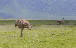 Ostrichs dans Maasai Mara, Kenya Photographie stock