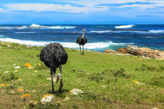 Ostrichs in Table Mountain stock photo