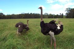 Ostridges Stockfoto