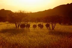 Ostritch em Namíbia Fotografia de Stock