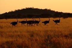 Ostritch em Namíbia Imagens de Stock