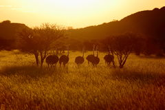 Ostritch in namibia Stock Photography