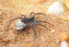 Ostrość Brogujący wizerunek Mały Żeński pająk z Jajecznym workiem zdjęcie royalty free