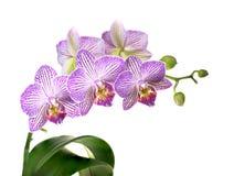 Ostrość Brogujący wizerunek Purpurowa i Biała Storczykowa roślina Odizolowywająca na bielu obrazy royalty free
