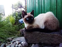 Ostrość, kot, Syjamski, śliczny zwierzę, niebieskie oczy fotografia stock