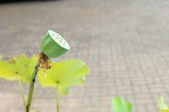 Ostrość lotosu ziarna i plamy tło Zdjęcie Royalty Free