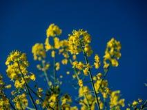 Ostrość na colza polu na niebieskim niebie i słonecznym dniu z bliska fotografia stock