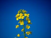 Ostrość na colza polu na niebieskim niebie i słonecznym dniu z bliska zdjęcia stock