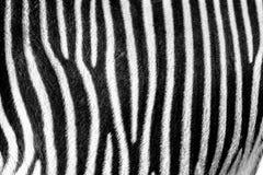 Ostrość na istnych zebra lampasach obraz stock