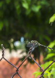 Ostrość na multicolor dragonfly z rdzewiejącym ogrodzeniem. Obraz Stock