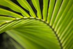 Ostrość na zielonym palmowym liściu przy Azja Obrazy Royalty Free