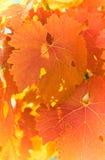 ostrości gronowa liść czerwieni płycizna bardzo Zdjęcie Stock
