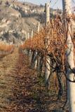 ostrości płytka winnicy zima Zdjęcie Royalty Free
