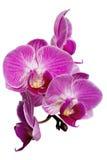 Ostrości sztaplowania fotografia Purpurowe orchidee Odizolowywać na Białym tle Zdjęcie Stock