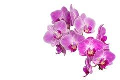 Ostrości sztaplowania fotografia Purpurowe orchidee Odizolowywać na Białym tle Obraz Royalty Free