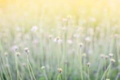 Ostrości trawy kwiat na łące przy światło słoneczne natury tła wiosną Zdjęcia Royalty Free