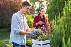 Ostrożna facet ogrodniczka w ogrodowych rękawiczkach stawia garnki z rozsadami w białym drewnianym pudełku na stole i dziewczynie fotografia stock