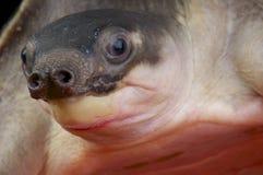 Ostrożnie wprowadzać żółw, Carettochelys insculpta/ Obrazy Stock