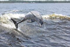 ostrożnie wprowadzać butelka delfin Obraz Stock
