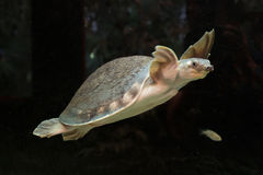 Ostrożnie wprowadzać Carettochelys insculpta lub żółw Zdjęcie Stock