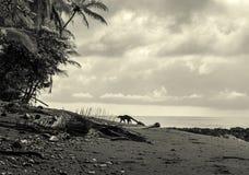 Ostrożnie wprowadzać coati - Costa Rica Obrazy Stock