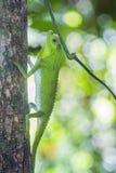 Ostrożnie wprowadzać jaszczurka w Sinharaja lasu rezerwie, Sri Lanka Fotografia Royalty Free