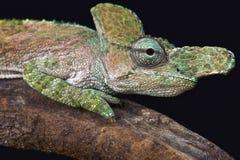 Ostrożnie wprowadzać kameleon (Kinyongia xenorhina) Zdjęcia Stock
