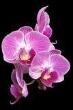 Ostrości sztaplowania fotografia Purpurowe orchidee na Czarnym tle Obrazy Stock