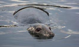 Ostrożny foki lying on the beach w wodzie Obraz Royalty Free