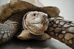 ostroga tortoise fotografia stock
