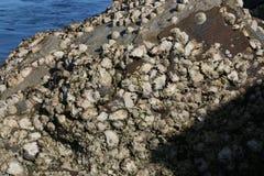 Ostron som växer på en vagga Fotografering för Bildbyråer