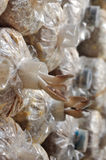 Ostronen plocka svamp, i att växa, hänger lös Arkivbild