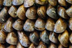 ostroner musslor arkivbilder