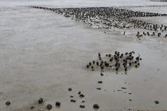 Ostronfält på gyttjig landremsa Arkivfoton