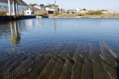 Ostronlantgård med växande ostron i undervattens- burar Arkivfoto