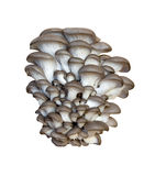 ostronpleurotus royaltyfria foton