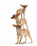 Ostrosłup trzy śmiesznego psa Zdjęcia Royalty Free