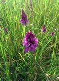 Ostrosłup orchidea obraz royalty free